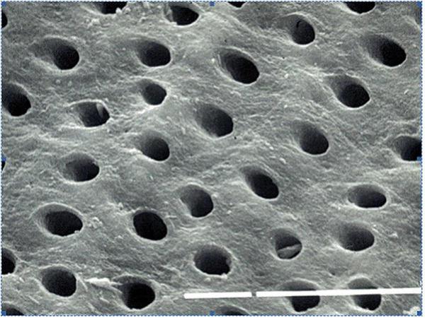 Dientes al microscopio