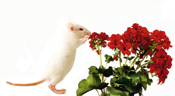 Nos atraem os mesmos cheiros que o mouse