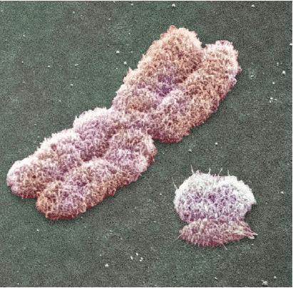 A recombinação genética pode causar desde esterilidade a reversão sexual