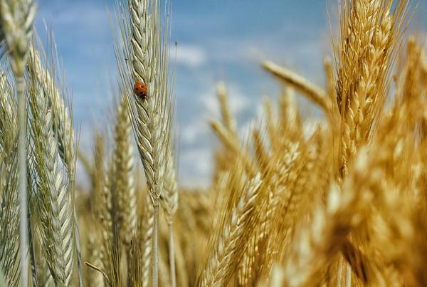 Por que os cereais são cada vez menos nutritivos?